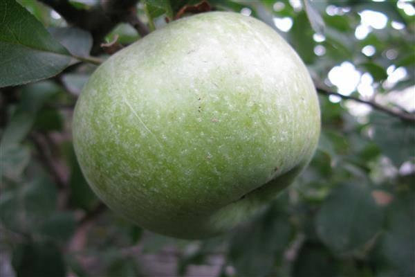 Яблоня семеренко занимает достойное место в вашем саду - общая информация - 2020