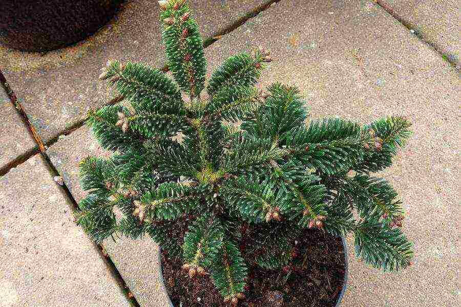 Пихта цельнолистная (abies holophylla)