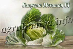 Характеристика сорта капусты мегатон - правила выращивания и ухода + фото