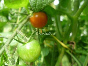 Обработка земли после фитофторы томатов