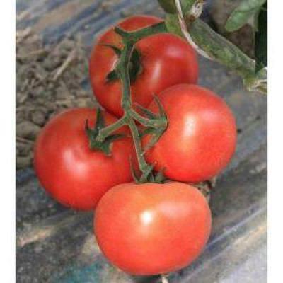 Томат линда: описание, выращивание, уход, фото
