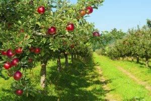 Посадка яблони весной в ленинградской области