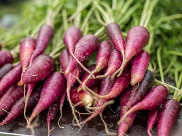 Морковь фиолетовая: что это такое, как использовали раньше, почему оранжевый корнеплод изначально был получен из этого вида, а также сорта и выращивание