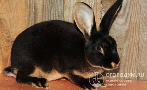 Разведение кроликов породы рекс