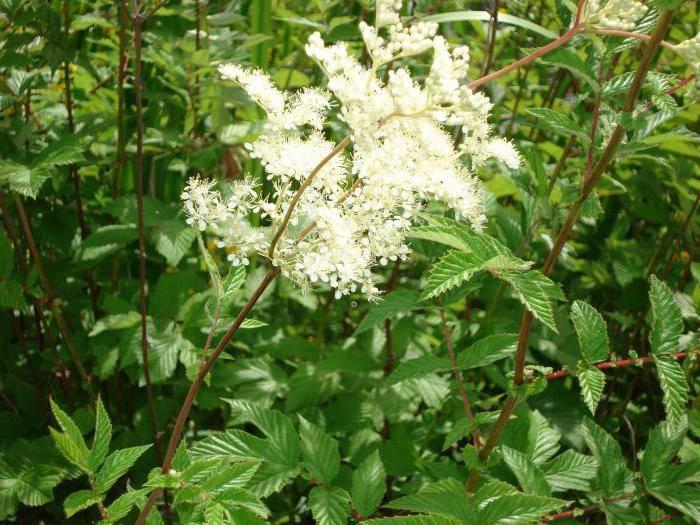 Лабазник дланевидный — полезные свойства, описание