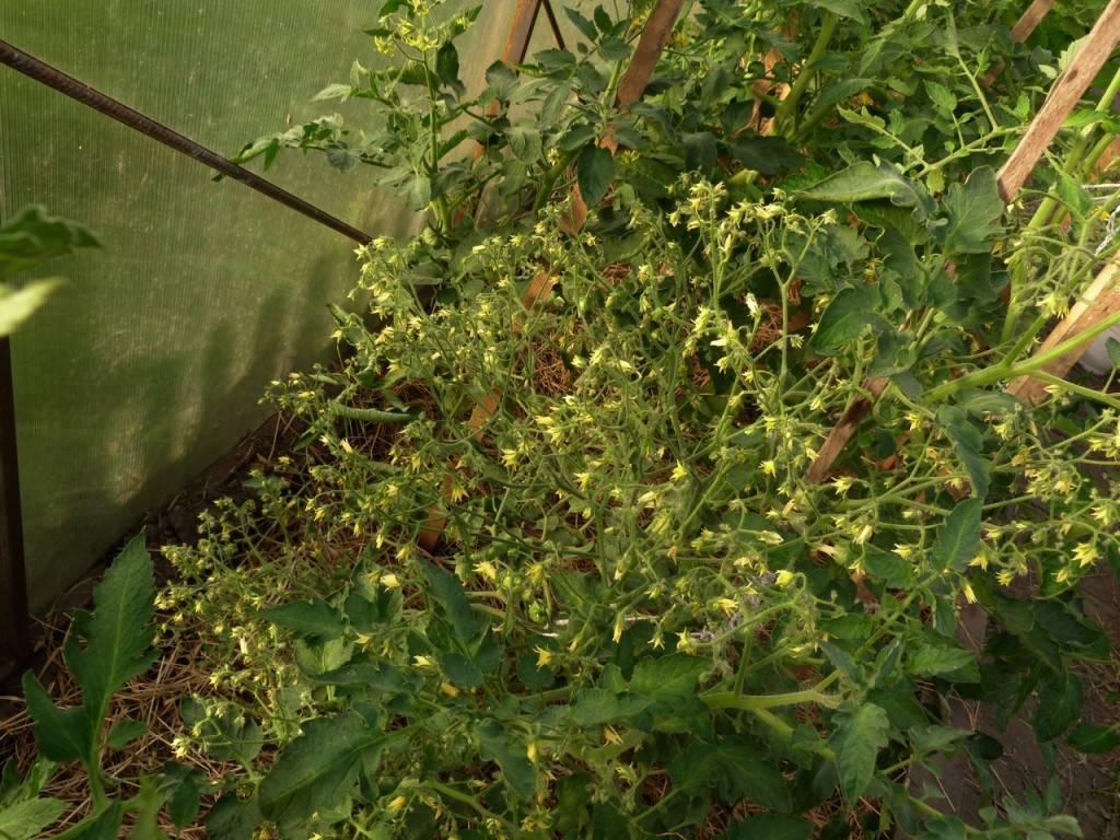 Описание томата денежный мешок, выращивание в открытом грунте и уход за растением