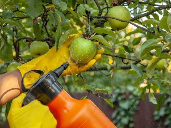 Сорт яблони медуница — один из самых вкусных и красивых сортов