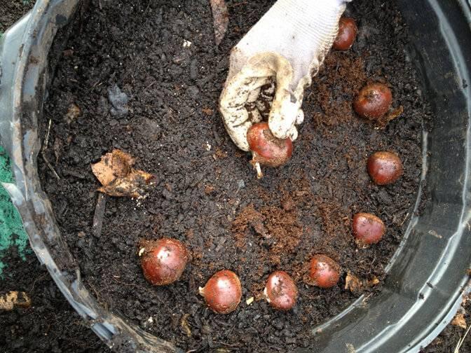 Как посадить каштан из ореха осенью. в открытый грунт