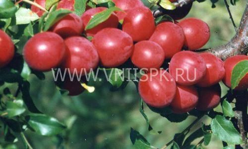 Алыча крымская ранняя — описание сорта, фото и отзывы садоводов