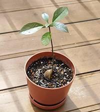 Почему на авокадо закручиваются листочки. сохнут листья у авокадо. то, что требует внимания
