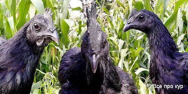 Экзотика чёрного цвета из индонезии — куры породы аям цемани