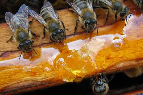 Подкормка пчел весной и осенью: приготовление сиропа, техника кормления
