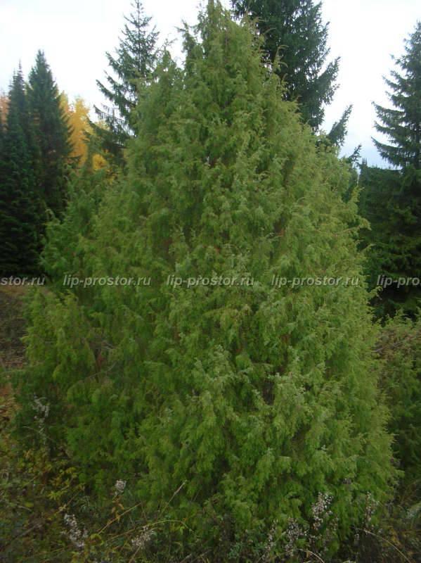 Можжевельник скальный фишт (juniperus scopulorum fischt)
