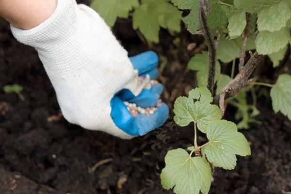 Как использовать картофельные очистки для смородины - пошаговая инструкция по подготовке и применению подкормки (фото + видео)
