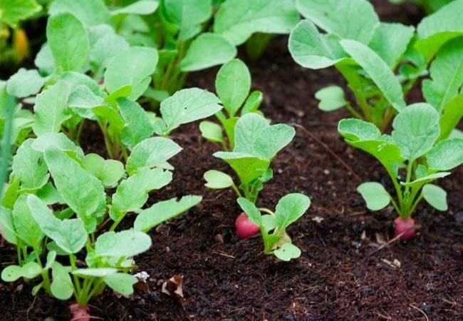 Сколько растет редиска в теплице, и когда появится первый урожай?