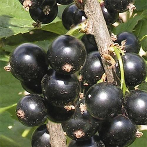 Смородина чёрная ядрёная: основные характеристики сорта