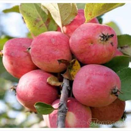Яблоня пепин шафранный: описание и характеристики сорта, посадка и уход, сбор урожая