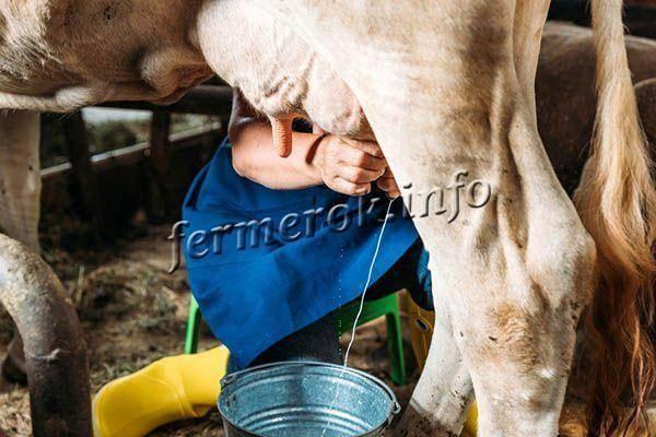 Что надо знать о стельности у коровы