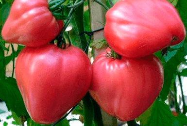 Помидоры «сахарный бизон»: описание, агротехника выращивания
