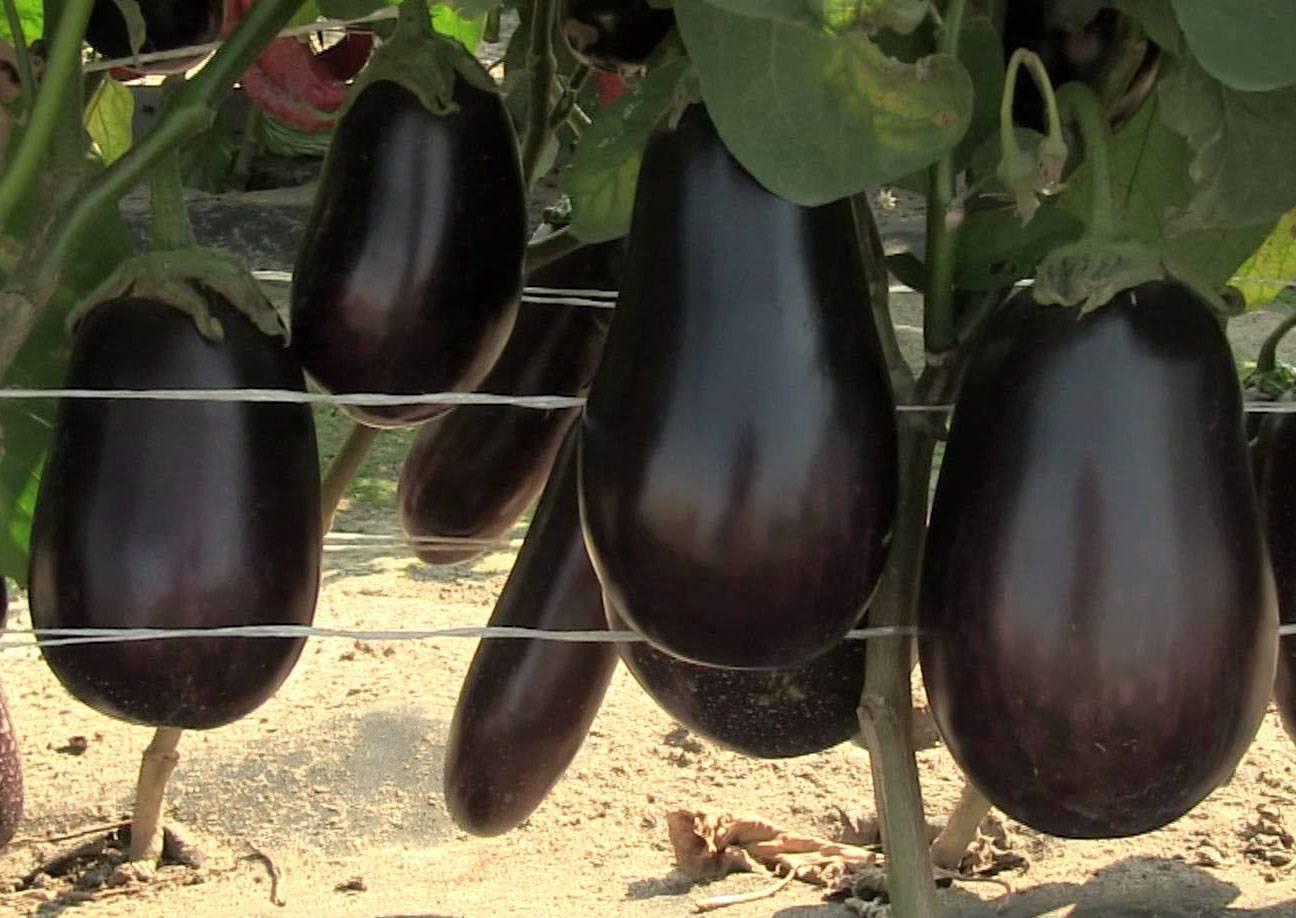 Баклажан мечта огородника — описание сорта, отзывы и характеристика