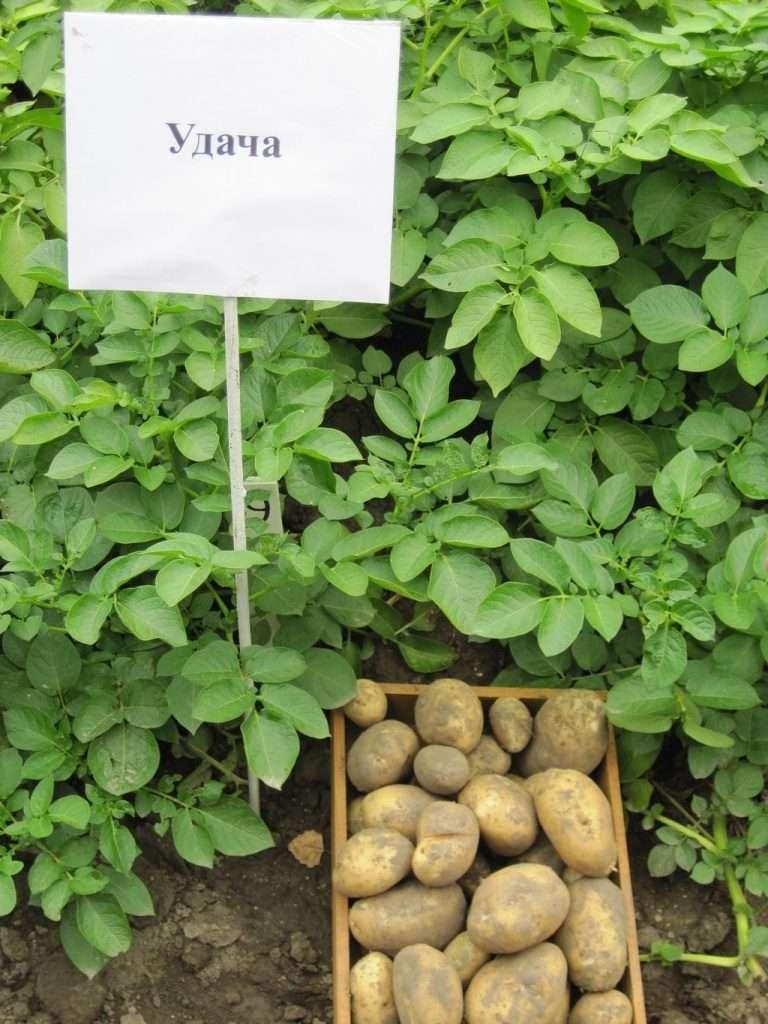 Удача — неприхотливый и урожайный отечественный сорт картофеля