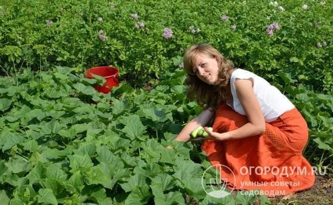 Высокоурожайные сорта огурцов для открытого грунта самоопыляемые - перечень сортов