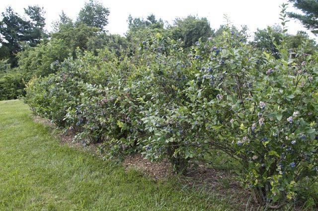 Описание лучших сортов садовой голубики