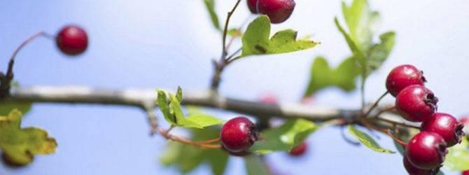 Боярышник: лечебные свойства и противопоказания