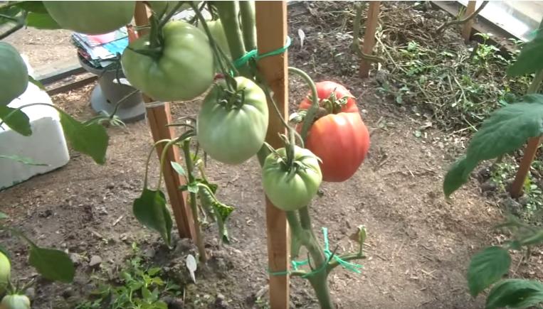 Урожайность, характеристика и описание сорта томата аляска
