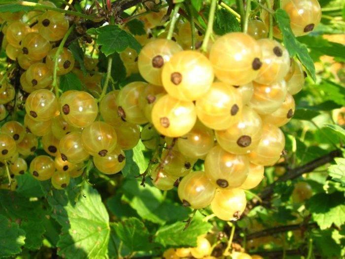 Белая смородина - полезные свойства, состав, калорийность, пищевая ценность
