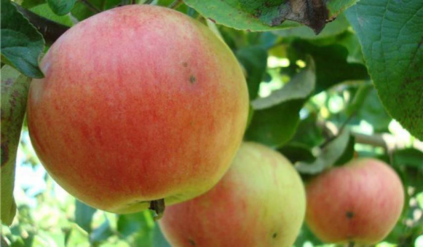 Описание и характеристики яблони сорта башкирская красавица, преимущества и недостатки