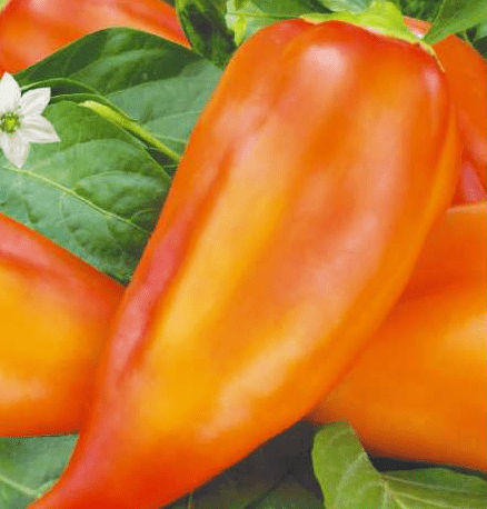 Лучшие сорта и гибриды перца