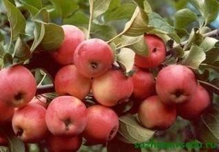 Неприхотливая летняя яблоня желтое сахарное