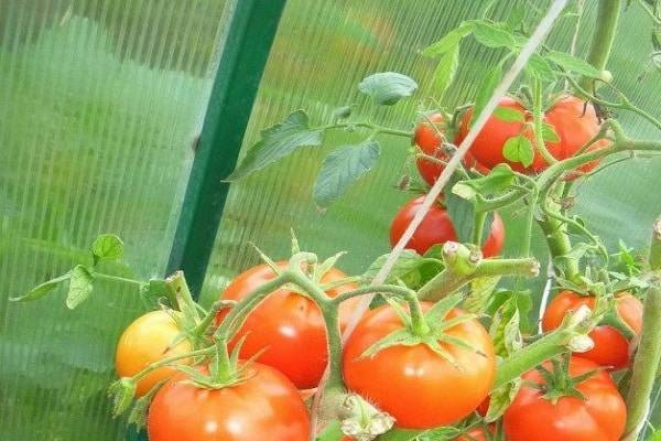 Инструкция по правильному пасынкованию томатов