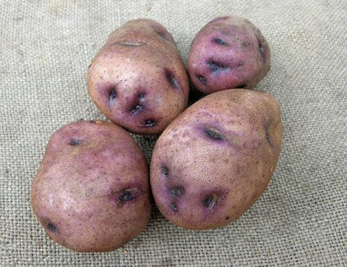 Картофель синеглазка: характеристика сорта, выращивание и уход