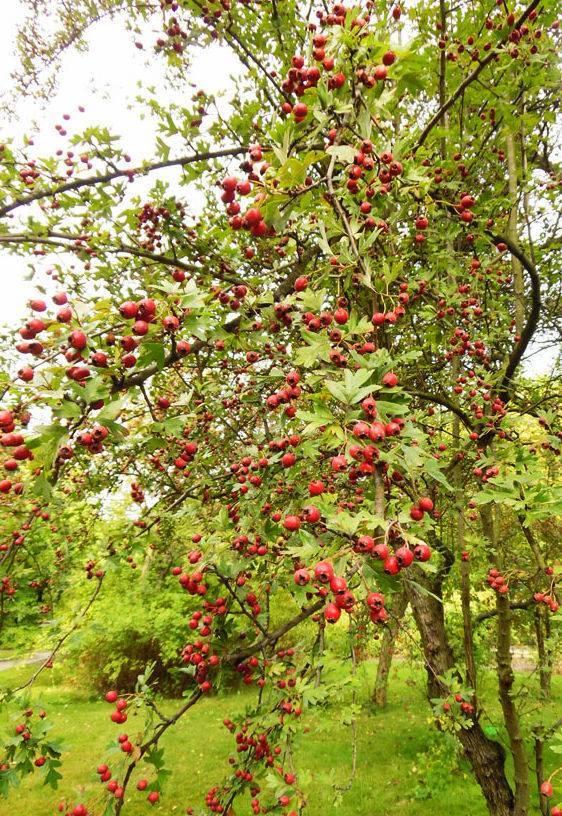Боярышник обыкновенный - описание, как выглядит, дерево или кустарник, посадка и уход