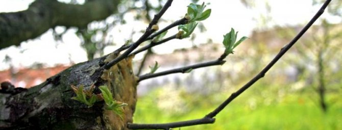 Прививка яблони на дичку свежими черенками
