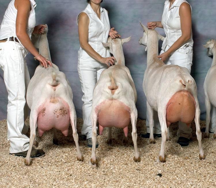 Молочные породы коз: названия, описания и характеристики