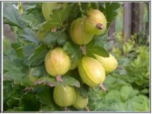 Крыжовник Ксения (Xenia): отзывы, посадка и уход, выращивание