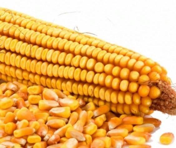 Кукуруза спирит f1: описание сорта, фото, посадка и уход