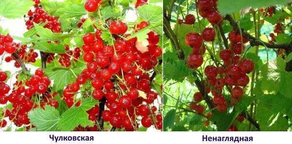 Красная смородина уральская красавица: описание сорта, посадка и уход