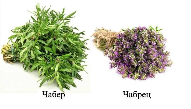 Польза и вред чабреца (тимьяна) | spicesguide.ru