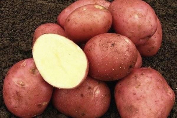 Подробное описание и характеристика картофеля родриго - общая информация - 2020