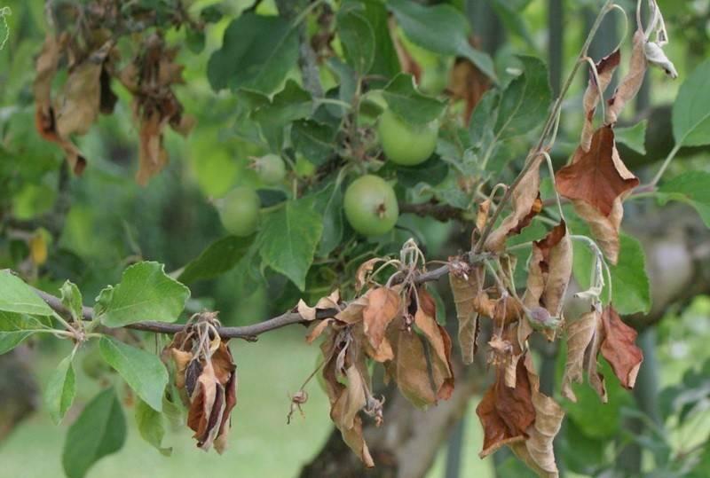 Вредители грецкого ореха, чем опрыскать грецкий орех от вредителей — пропозиция