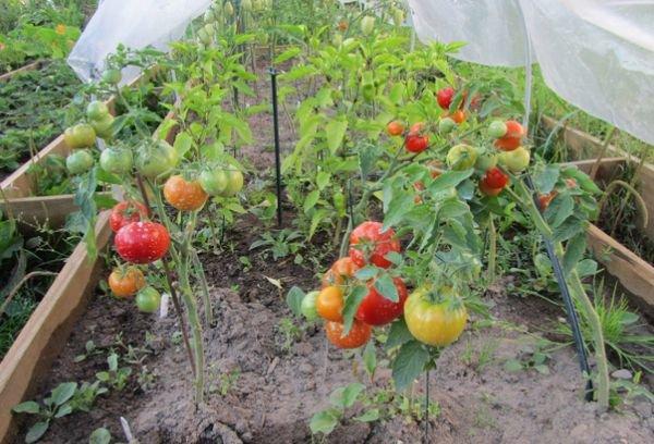 Супердетерминантные сорта томатов
