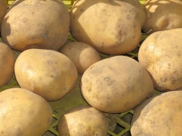 Завидный культивар с десятком достоинств — картофель агрия: описание сорта, фото и отзывы
