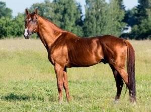 Будённовская лошадь — википедия переиздание // wiki 2