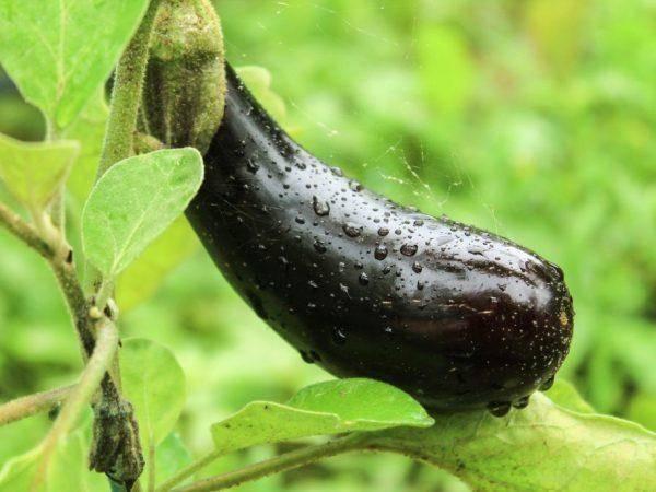 Баклажан алексеевский — отзывы, писание сорта, характеристика и урожайность
