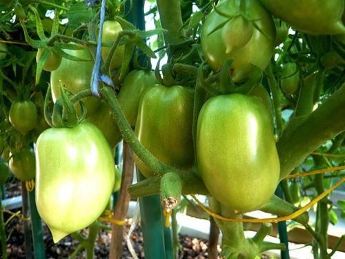 Характеристика, описание и нюансы выращивания томата сорта ракета