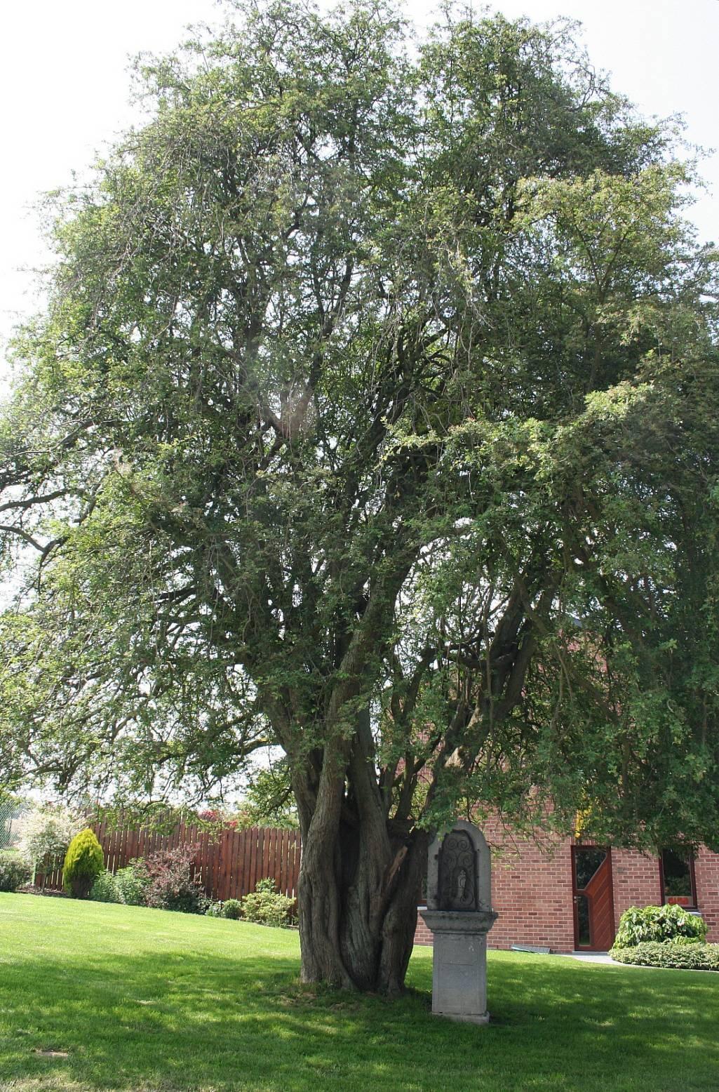 Декоративные деревья и кустарники: боярышник сибирский